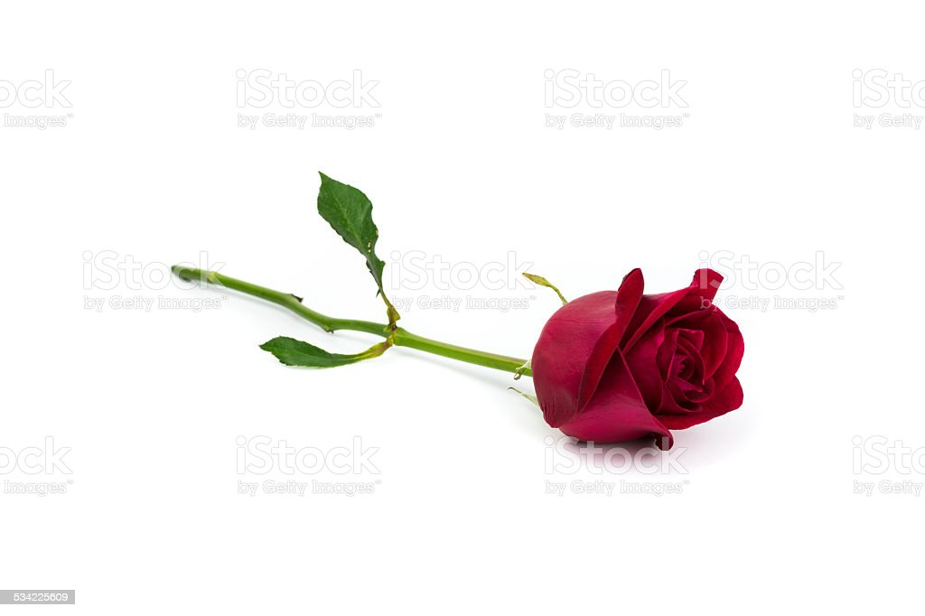 Red rose on white background. stock photo