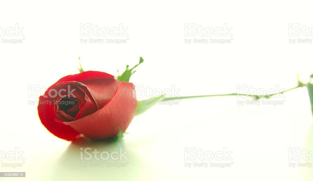 Rosas rojas sobre fondo blanco foto de stock libre de derechos