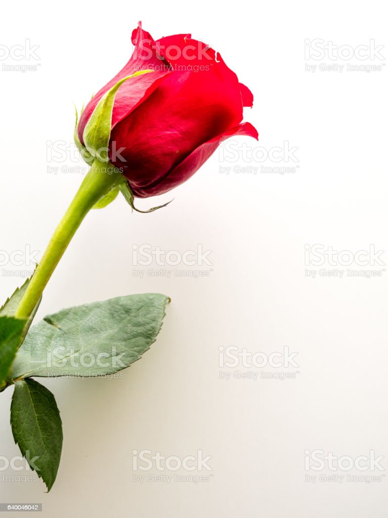 Red rose on white  background with copy space stock photo