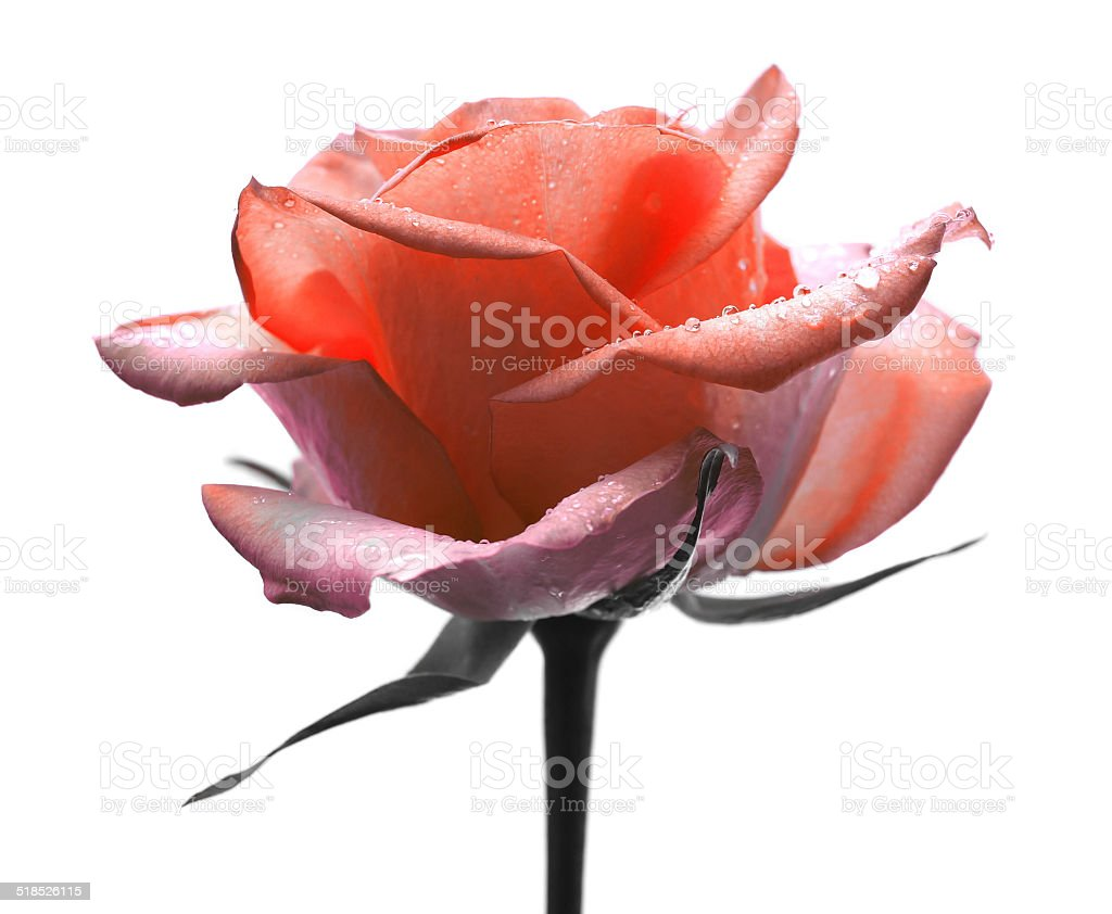 Red rose on white royalty-free stock photo