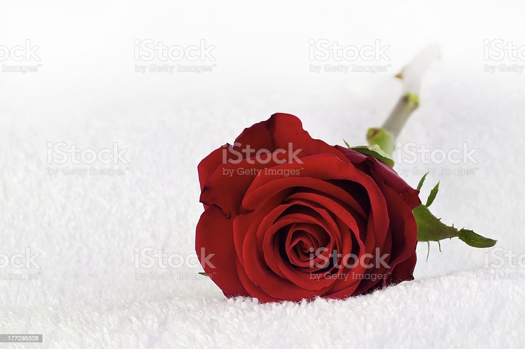 Red rose on white towel stock photo