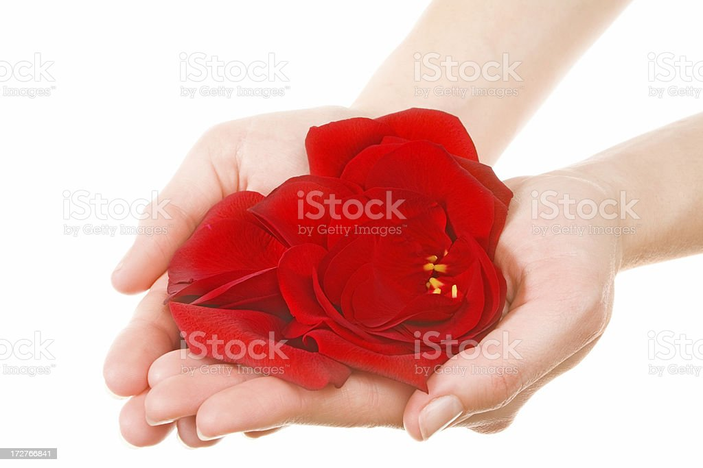 red rose petals in palms royalty-free stock photo