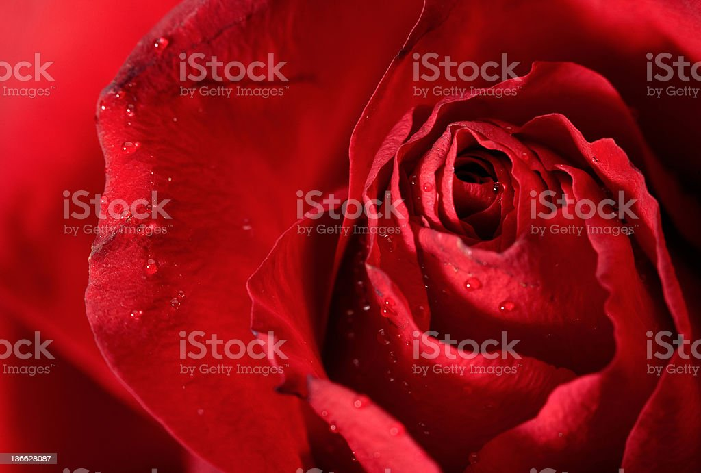 red rose petals  with water droplets royalty-free stock photo