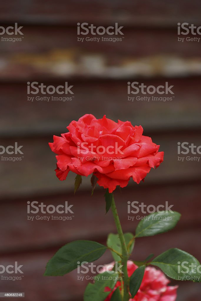 Red rose. royalty-free stock photo