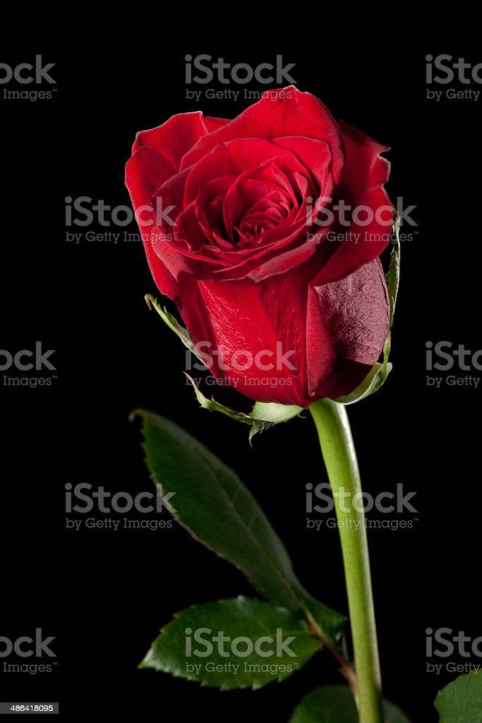 Красная роза Стоковые фото Стоковая фотография