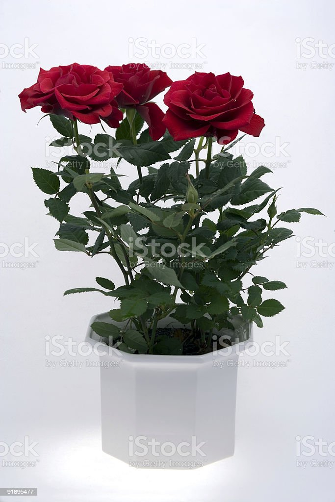 Red rose plant in pot royalty-free stock photo