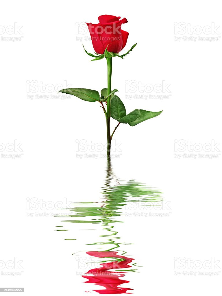 Red rose reflected in water isolated on a white background. stock photo
