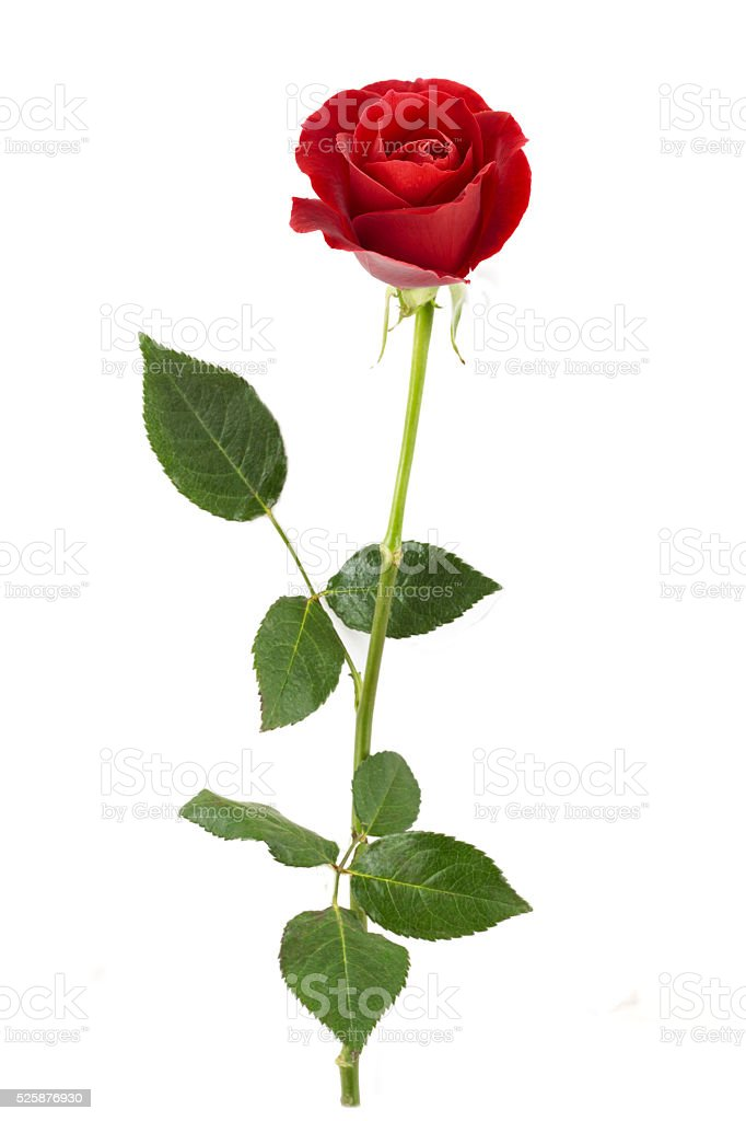 Red rose single stock photo