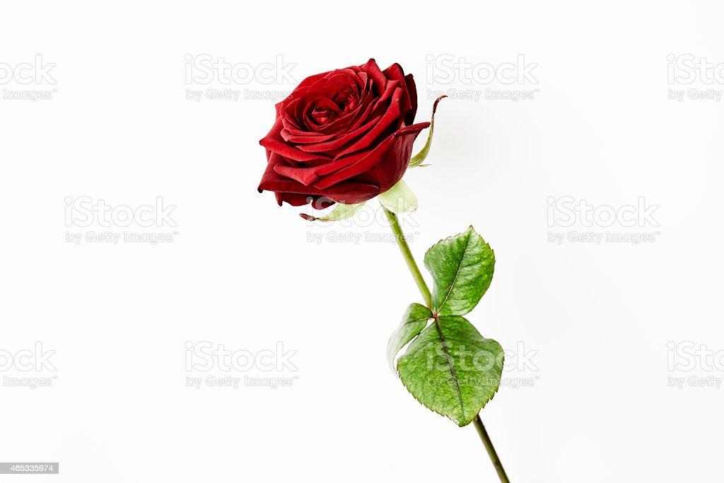 Red rose, studio stock photo