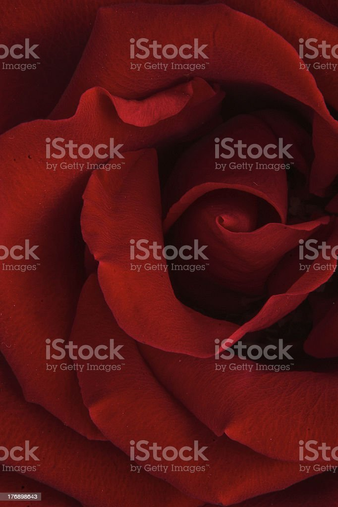A red rose, the flower of love stock photo