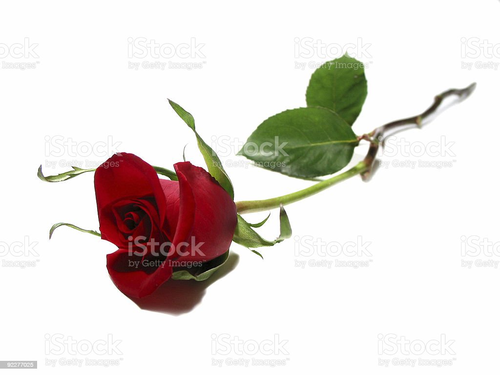 Red rose white background stock photo