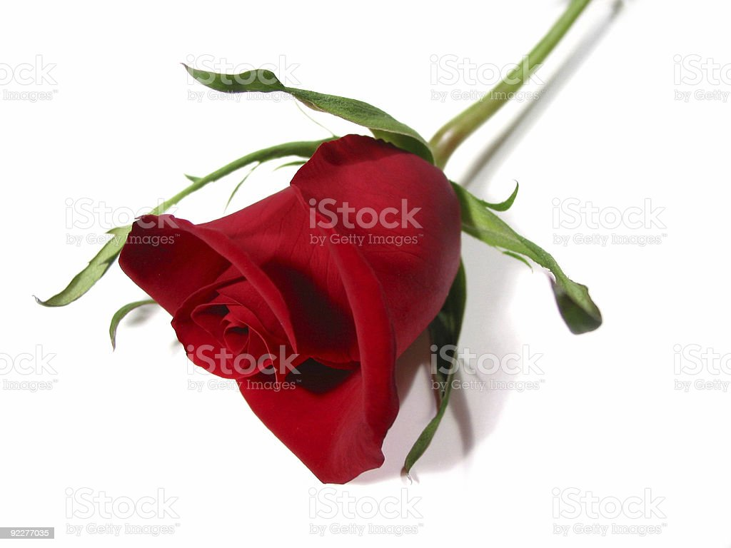 Red rose white background royalty-free stock photo