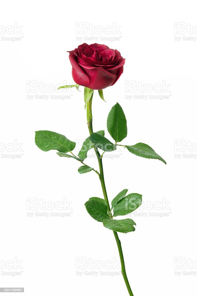 Red rose with clipping path stock photo