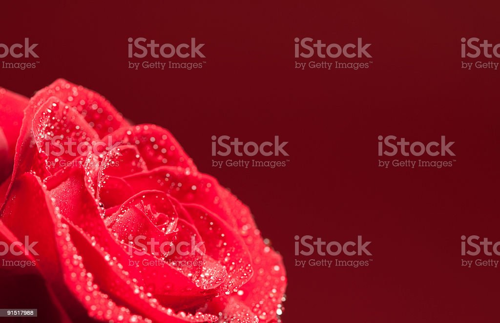 Red rose with dew. royalty-free stock photo