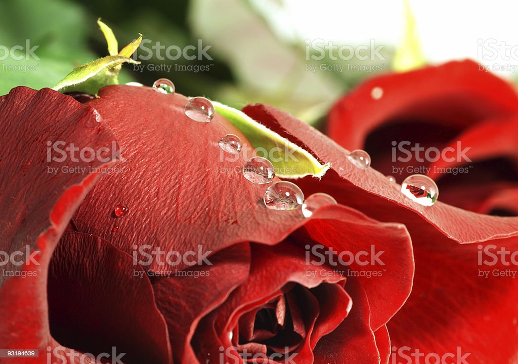 red rose with droplets. Shallow DOF royalty-free stock photo