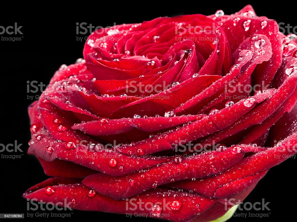 red rose with drops of dew, on black background stock photo