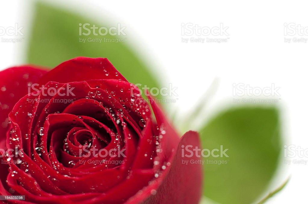 rose rouge avec des gouttes d'eau photo libre de droits