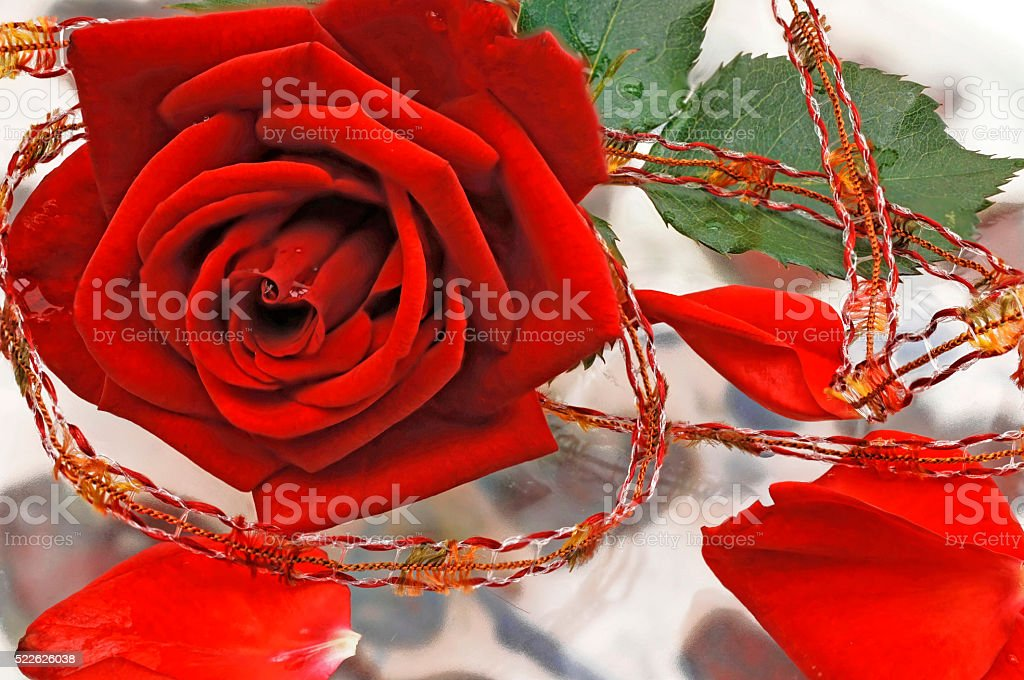 Red rose with fresh leaves as a greeting card stock photo