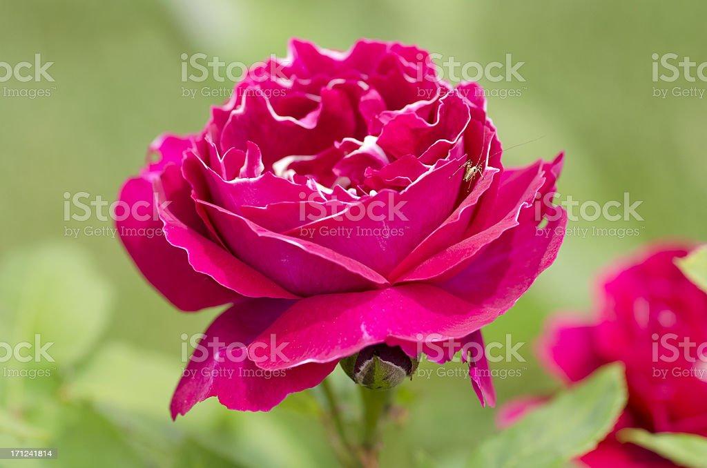 Red Rose with Grasshopper in Portorose stock photo