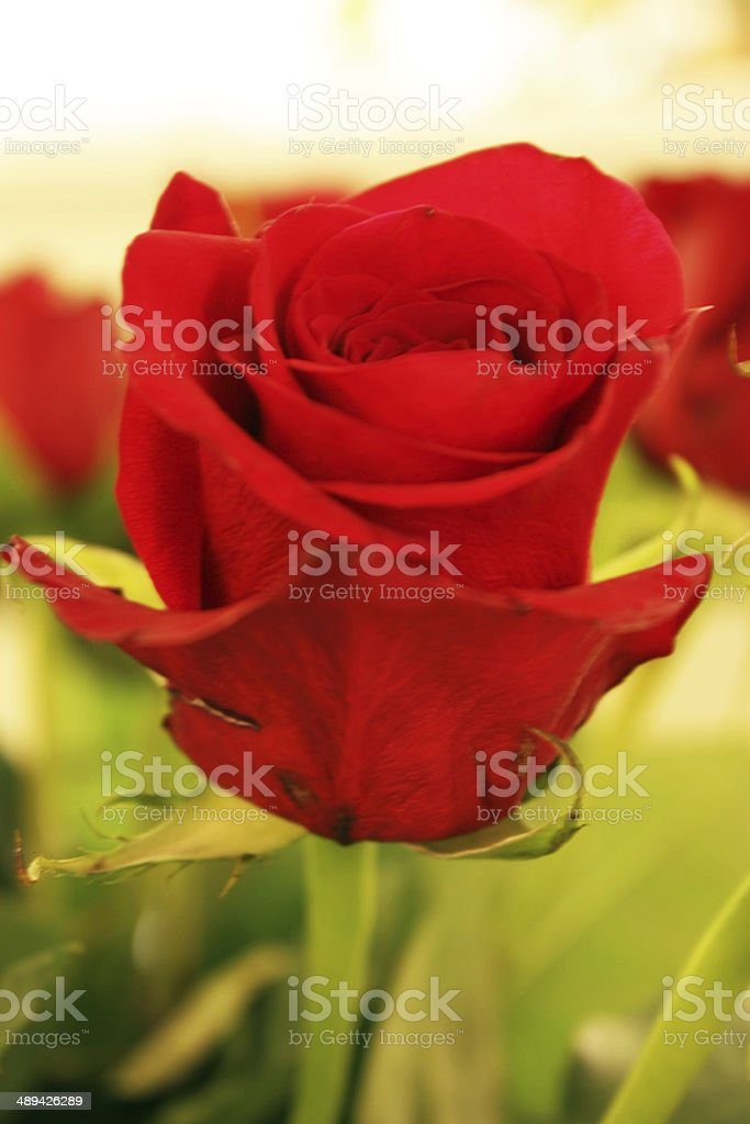Red rose with green background royalty-free stock photo