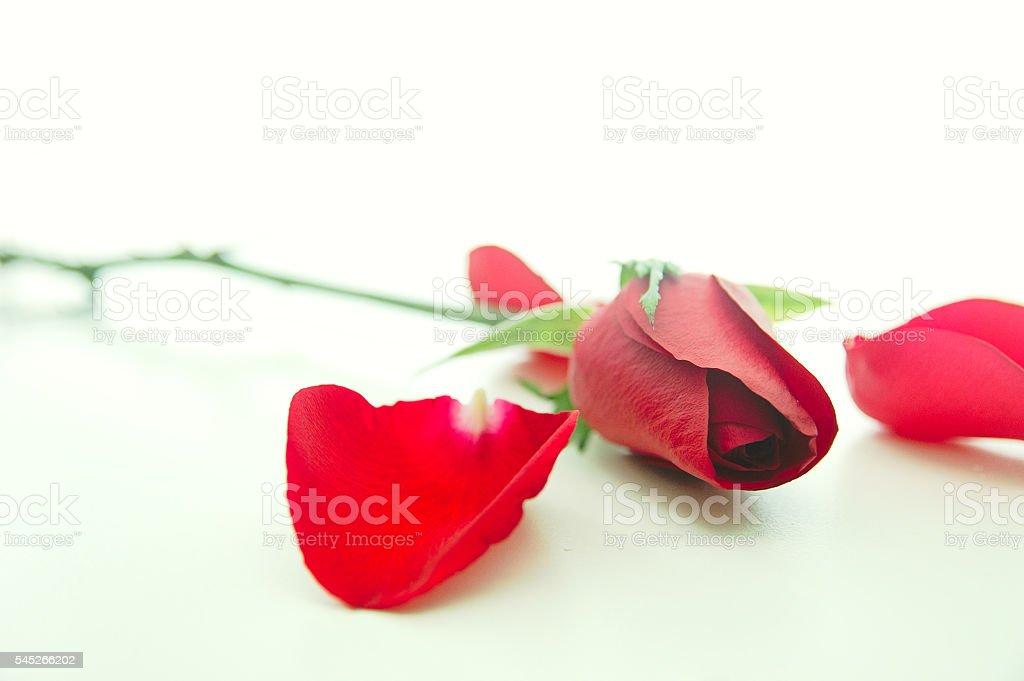 Red rose with loose petals foto de stock libre de derechos