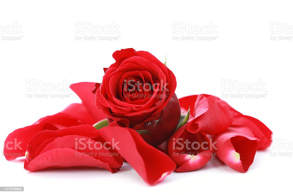 red rose with petals stock photo