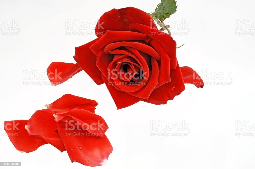 red rose with single leaves stock photo