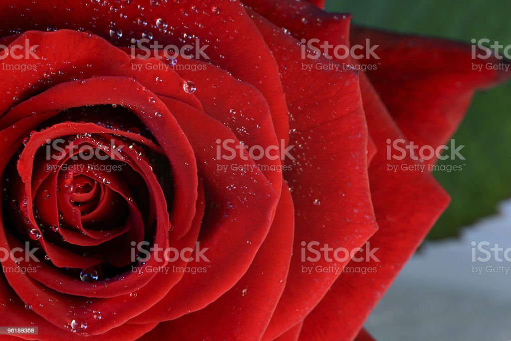 Red rose with water droplets stock photo