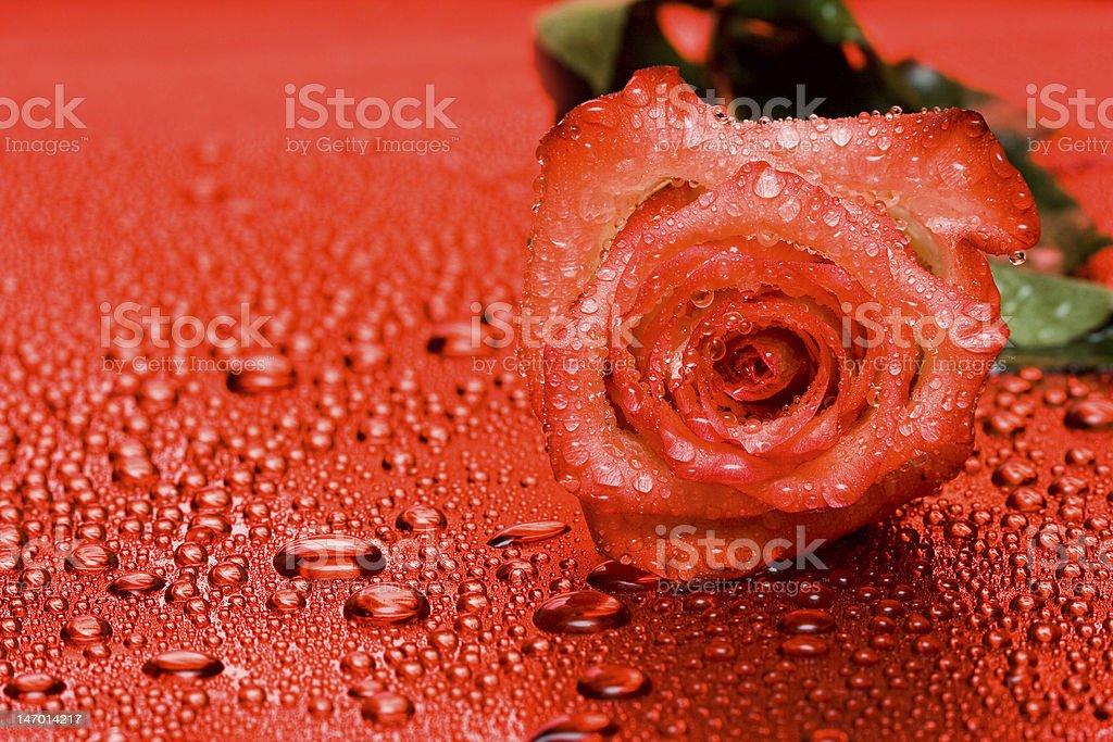 Rosa vermelha com gotas de água foto de stock royalty-free