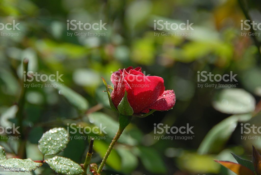 Red Rose with water-drops stock photo