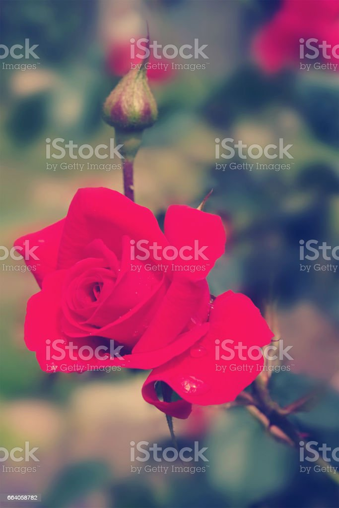 red rose with waterdrops stock photo