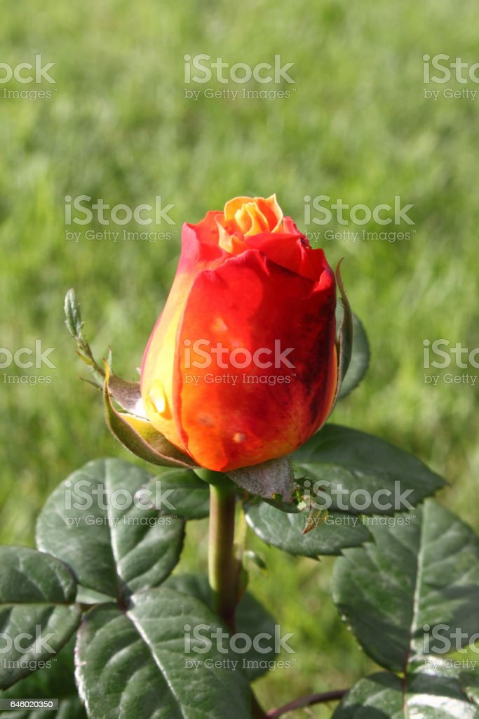 Red rose with yellow nuances stock photo
