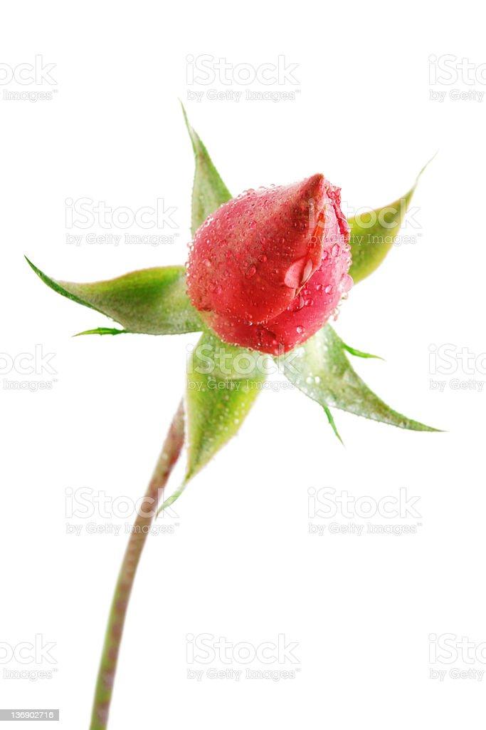 XXL red rosebud close-up royalty-free stock photo