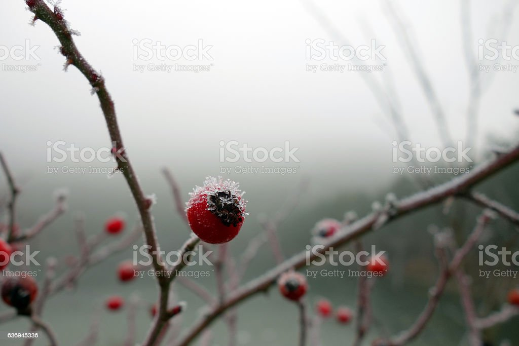 Red rose-hips macro in winter stock photo