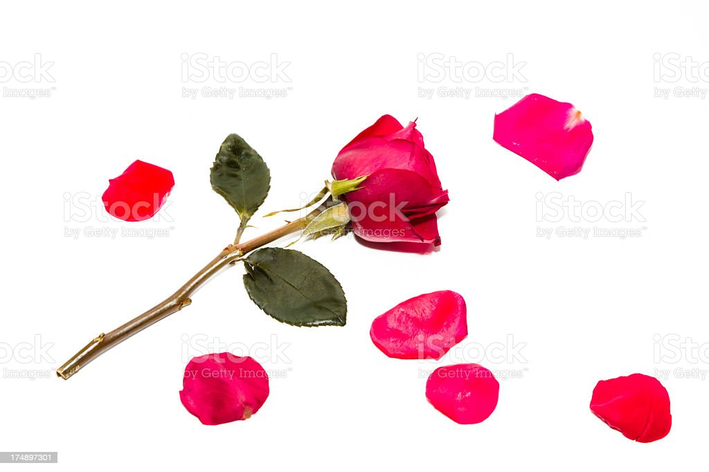 red roses and petals royalty-free stock photo