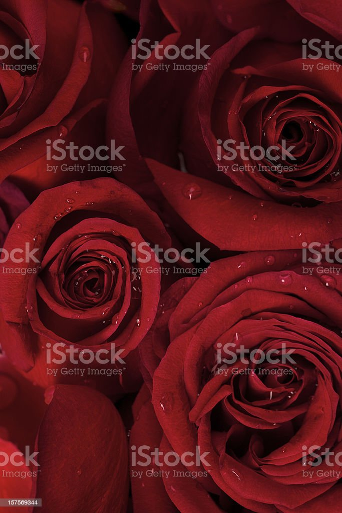 Red Roses, Dew Drops, Flower, Valentine Day, Wedding Background royalty-free stock photo