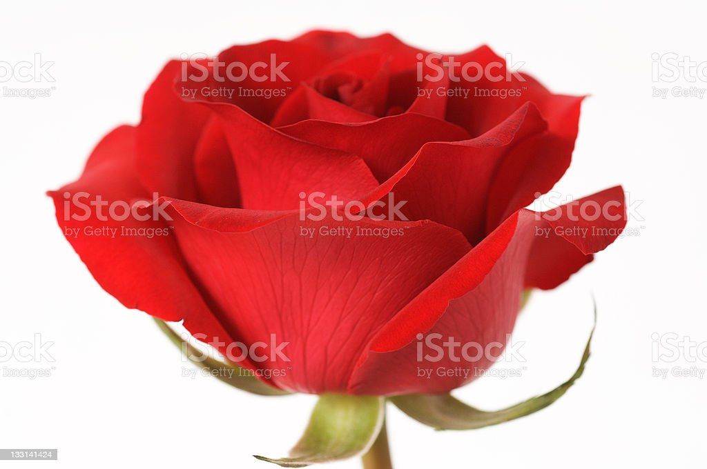 red roses for valentine royalty-free stock photo