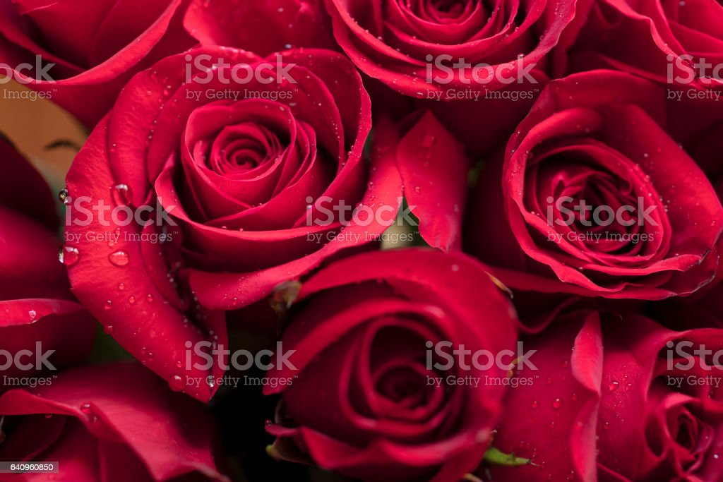 Red Roses for Valentine's or Mother's Day stock photo