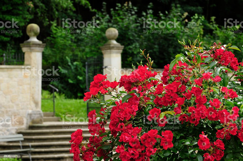 Red roses in a park royalty-free stock photo