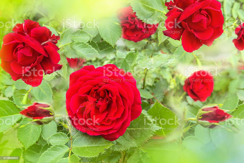 Red roses in the morning garden close up stock photo