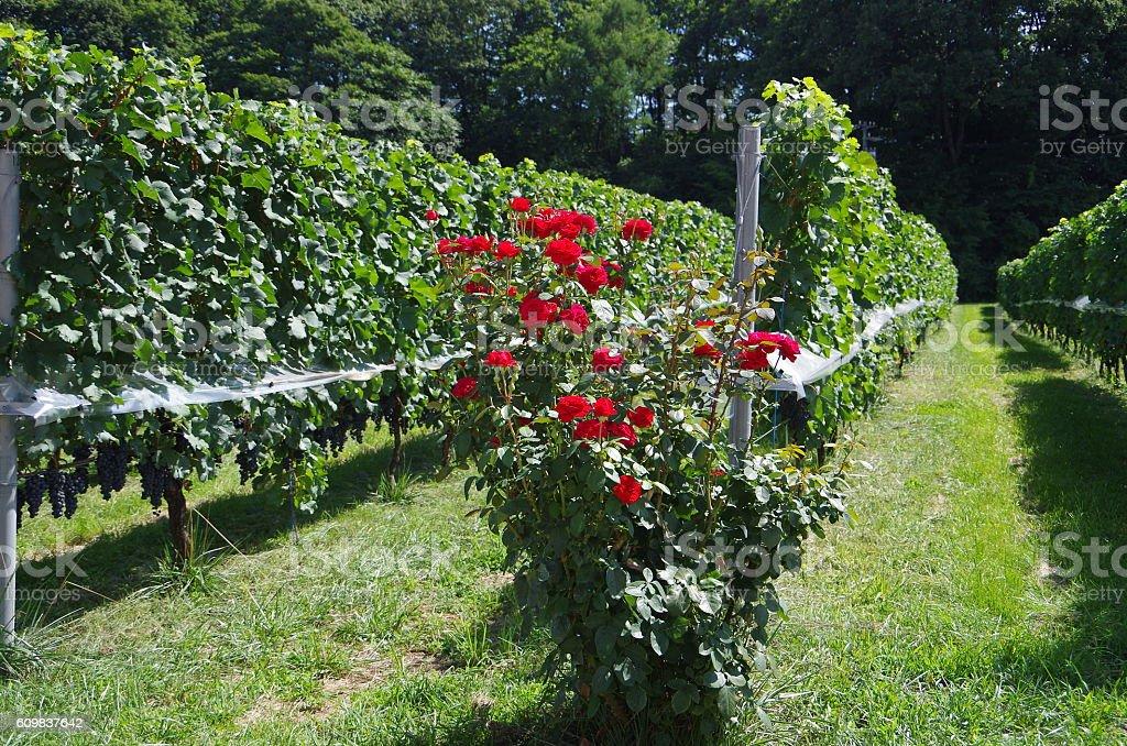 Red roses en el Viñedo foto de stock libre de derechos