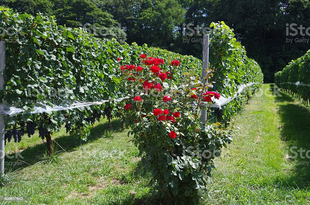 Red roses in the vineyard stock photo