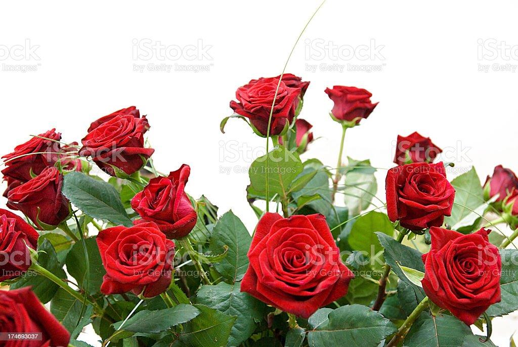 red roses isolated on white studio shot stock photo