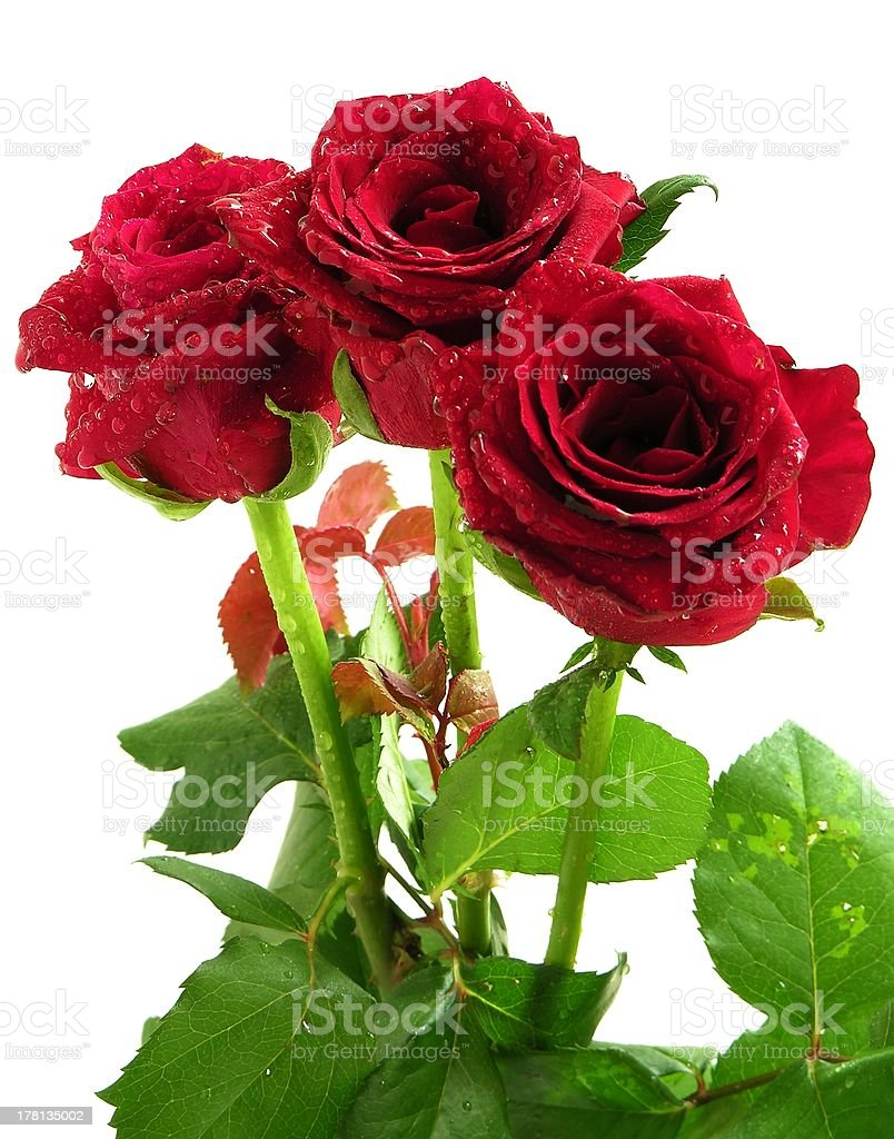 red roses isolated royalty-free stock photo