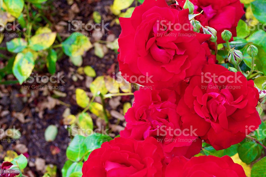 Red Roses London stock photo