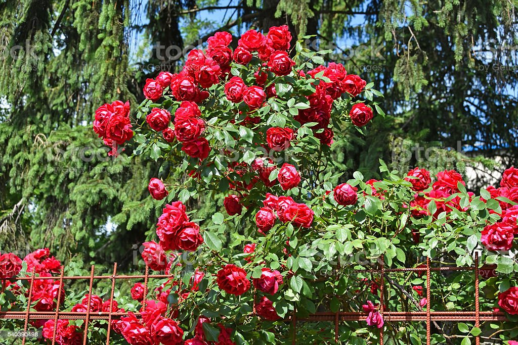 Red roses next to a metal fence stock photo