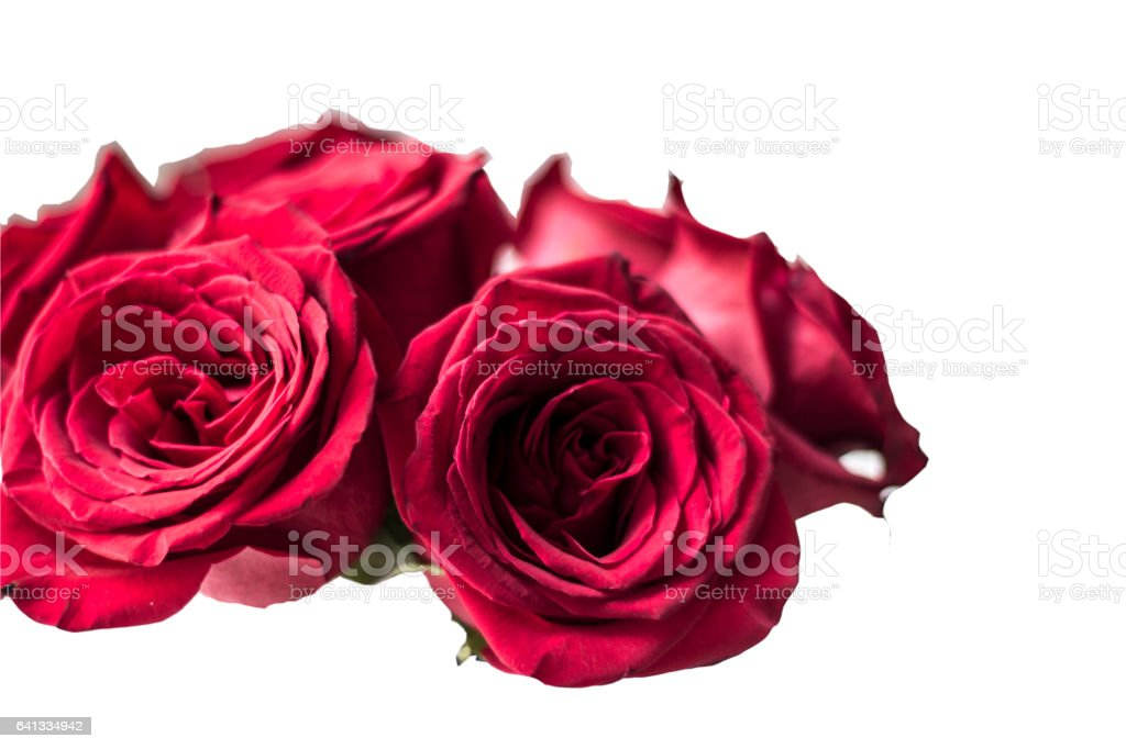 red roses on the white background stock photo