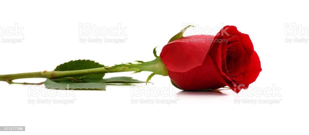 Red roses on white background stock photo