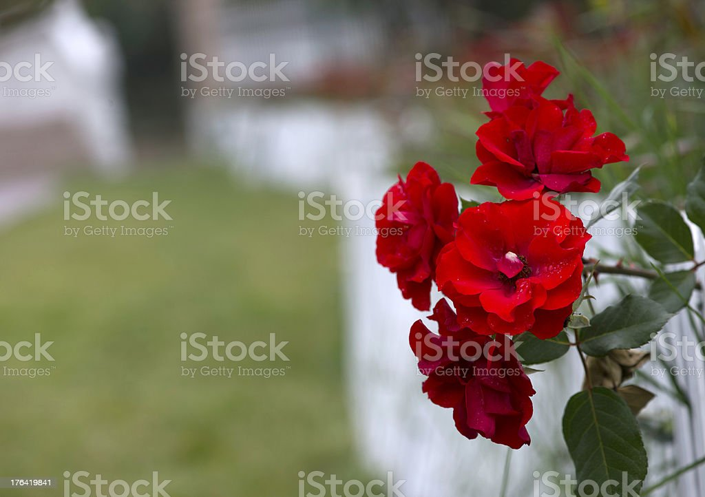 Red Roses on White Fence royalty-free stock photo