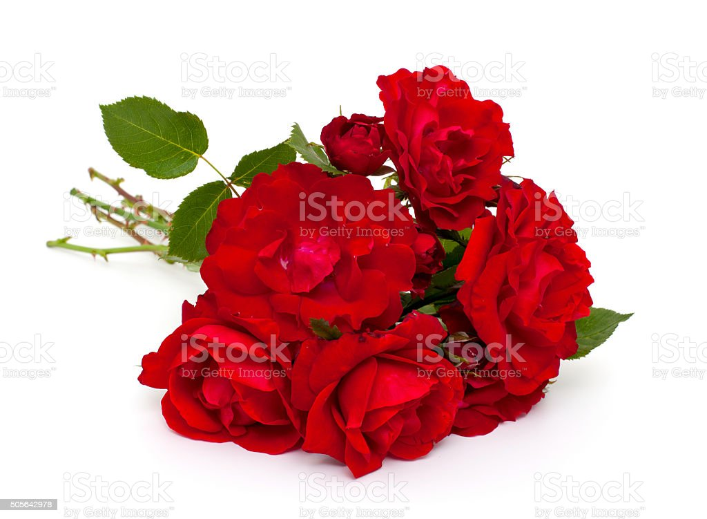 red roses over white stock photo